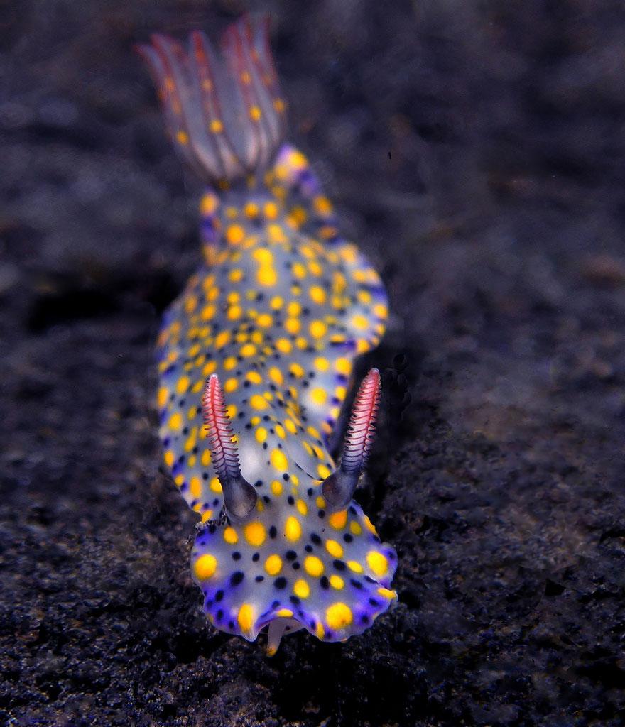 Most Colorful Sea Slugs on Earth (10)