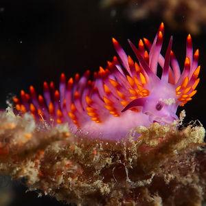 Most Colorful Sea Slugs on Earth (12)