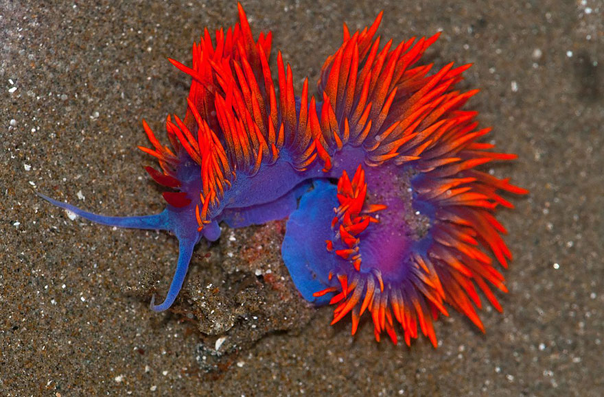 Most Colorful Sea Slugs on Earth (2)