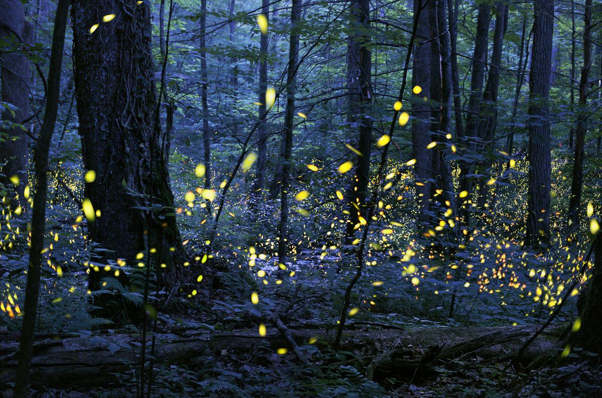 13. Synchronous Fireflies By radim-schreiber