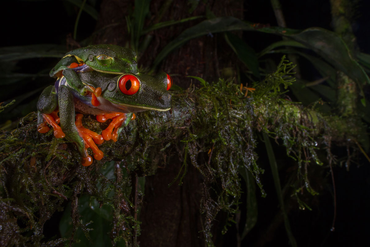 8. Mating Red-Eyed Tree Frogs By jennifer-guyton