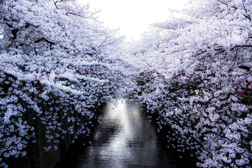 Cherry Blossom in Japan from National Geographic (3)