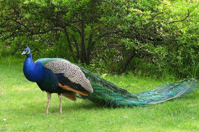 Beautiful peacock (1)