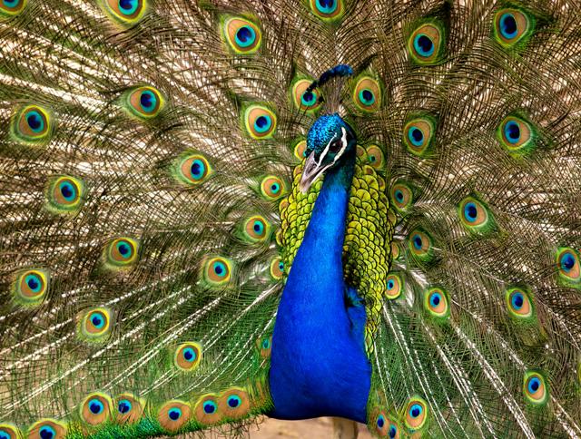 Beautiful peacock (10)