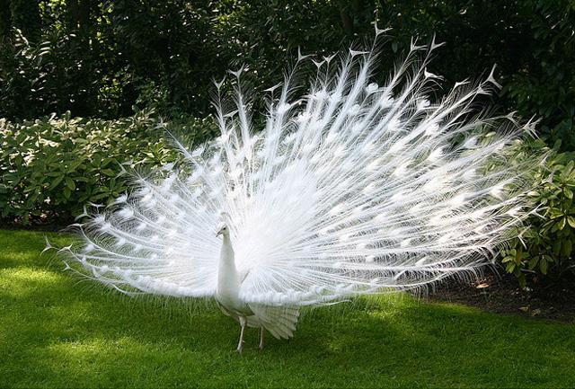 Beautiful peacock (13)