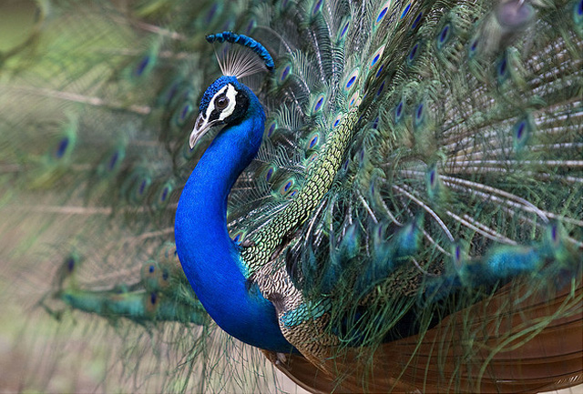 Amazing Photographs of Peacock | Great Inspire - photo#28
