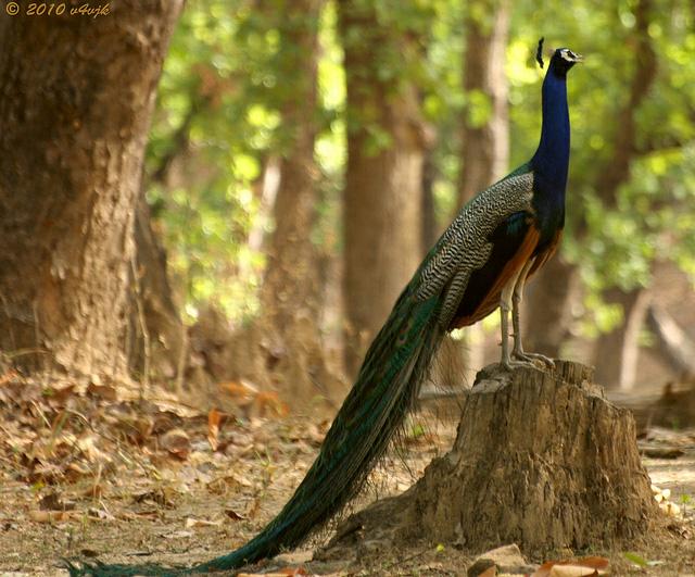 Beautiful peacock (18)