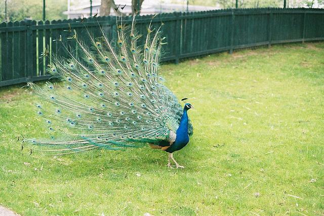 Beautiful peacock (19)