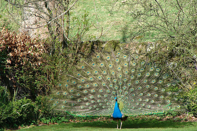 Beautiful peacock (2)