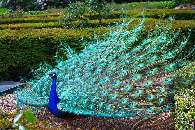 Beautiful peacock (20)