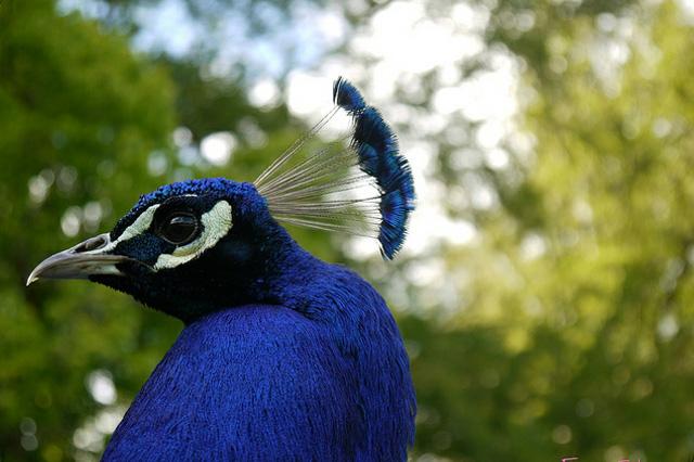 Beautiful peacock (22)