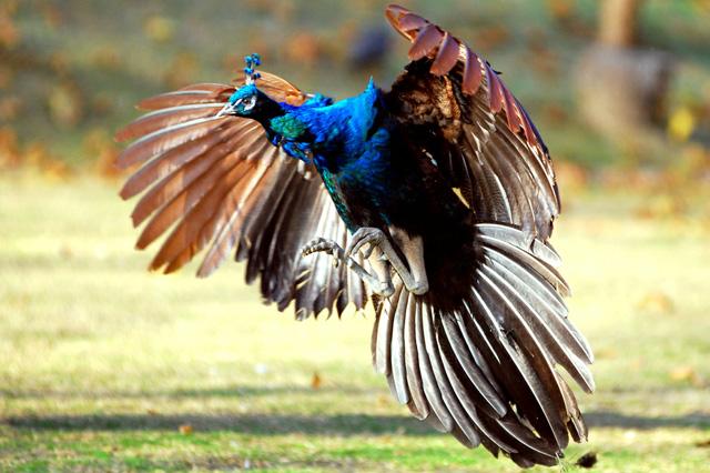 Beautiful peacock (23)