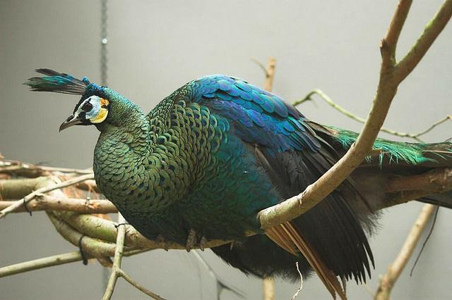 Beautiful peacock (3)