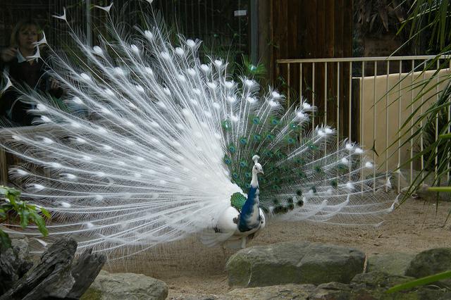Beautiful peacock (7)