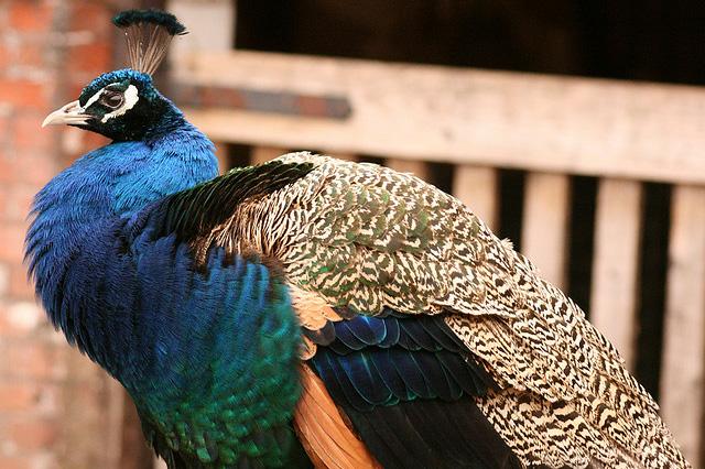 Beautiful peacock (8)