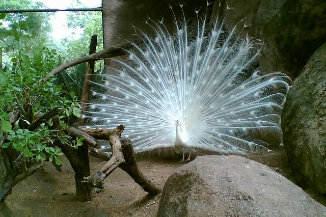 Beautiful peacock (9)