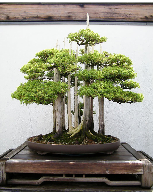 Most Evergreen Beautiful Bonsai Trees (1)