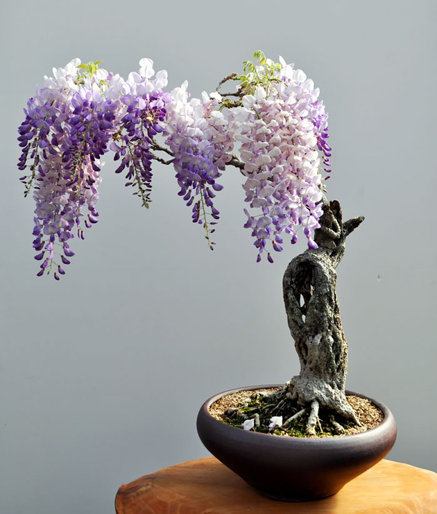 Most Evergreen Beautiful Bonsai Trees (10)