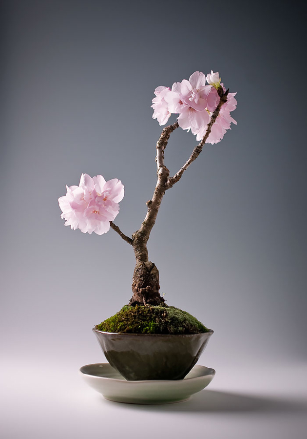 Most Evergreen Beautiful Bonsai Trees (11)