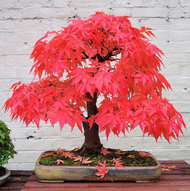 Most Evergreen Beautiful Bonsai Trees (12)