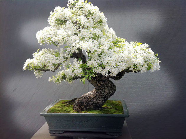 Most Evergreen Beautiful Bonsai Trees (13)