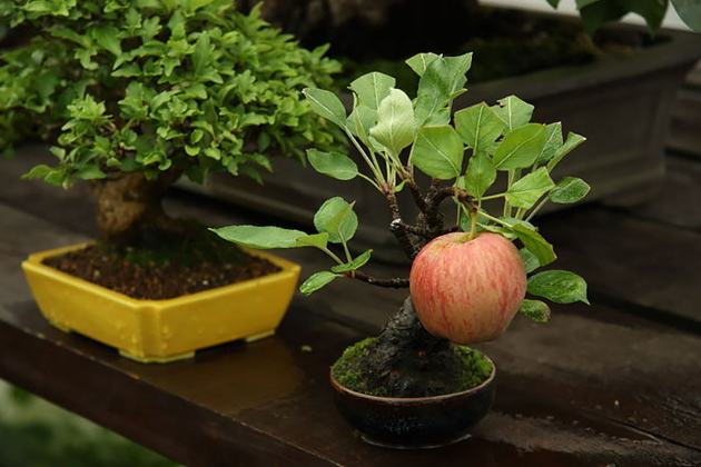 Most Evergreen Beautiful Bonsai Trees (15)
