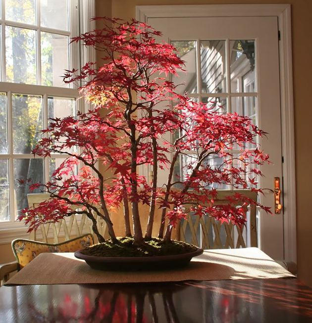 Most Evergreen Beautiful Bonsai Trees (2)