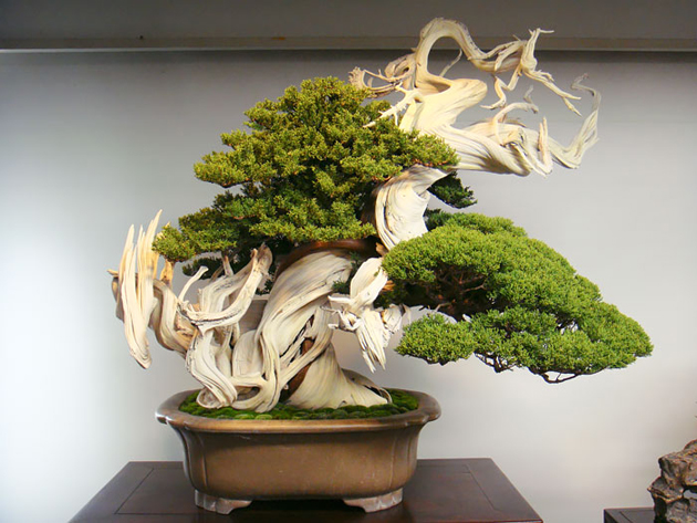 Most Evergreen Beautiful Bonsai Trees (3)