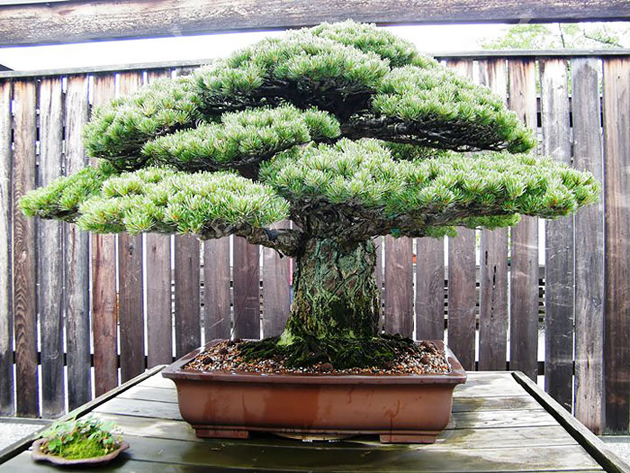 Most Evergreen Beautiful Bonsai Trees (4)