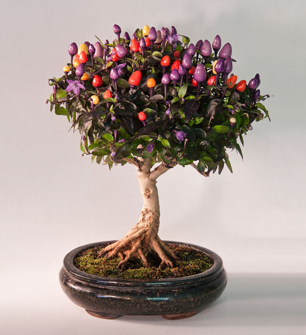 Most Evergreen Beautiful Bonsai Trees (5)