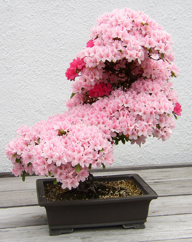 Most Evergreen Beautiful Bonsai Trees (8)