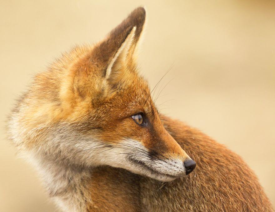 Dune Fox Of The Netherlands (10)
