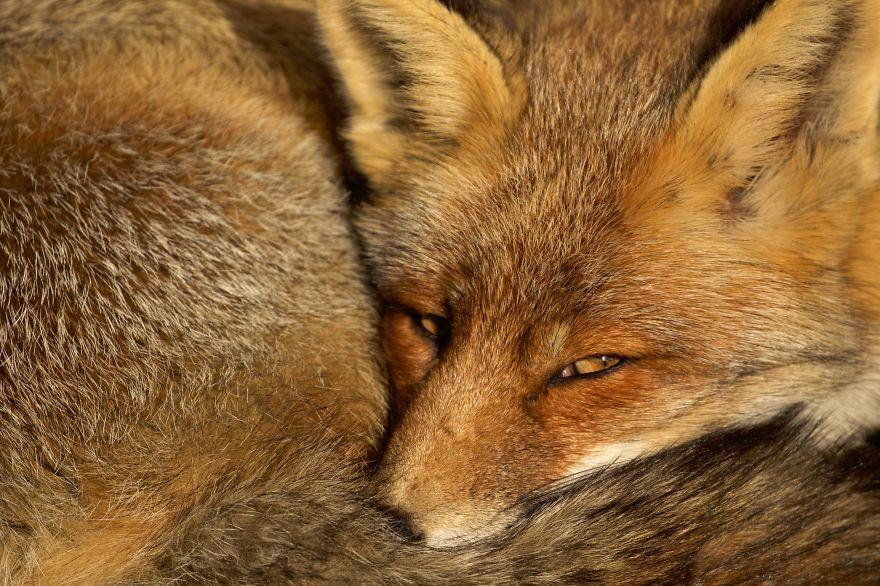 Dune Fox Of The Netherlands (19)