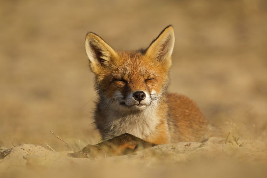 Dune Fox Of The Netherlands (20)