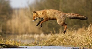 Dune Fox Of The Netherlands  (3)