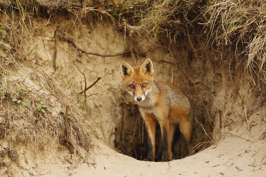 Dune Fox Of The Netherlands (6)