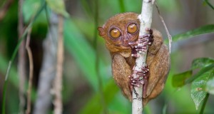 A tarsier sitting in a tree.