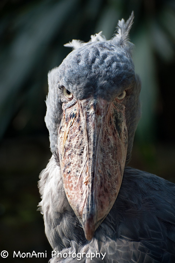 Shoebill One of the most impressive birds of freshwater swamps of central tropical Africa, distributed from southern Sudan through parts of eastern Congo, Rwanda, Uganda and western Tanzania. Shoebills are largely piscivorous but are assured predators of a considerable range of wetland vertebrates.