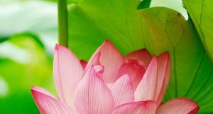 Beautiful Collection Of Colorful Lotus (1)