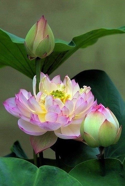 Beautiful Collection Of Colorful Lotus (11)