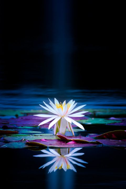 Beautiful Collection Of Colorful Lotus (13)