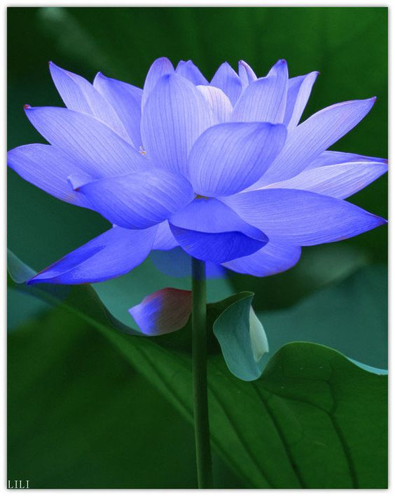 Beautiful Collection Of Colorful Lotus (17)