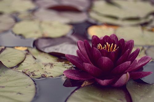 Beautiful Collection Of Colorful Lotus (2)