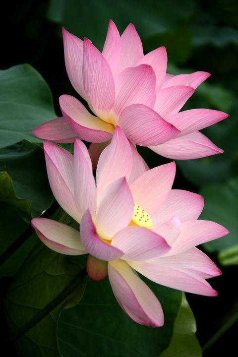 Beautiful Collection Of Colorful Lotus (4)