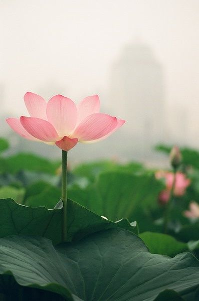 Beautiful Collection Of Colorful Lotus (7)