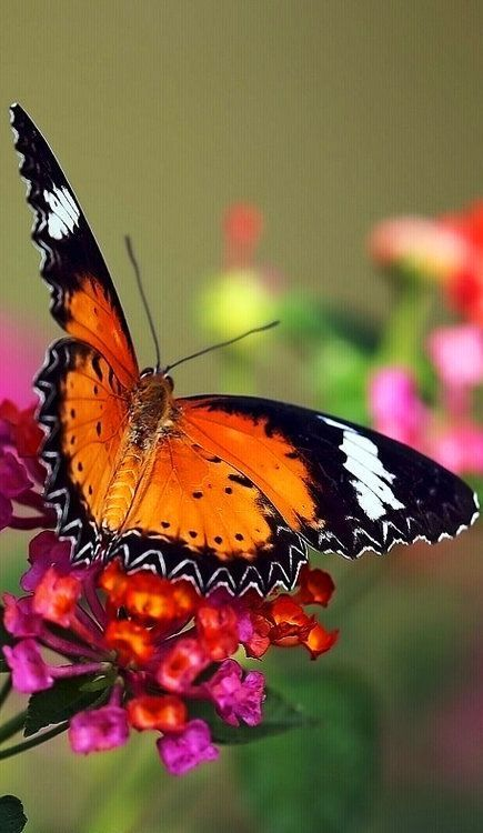colorful-and-stunning-butterfly-photography-22