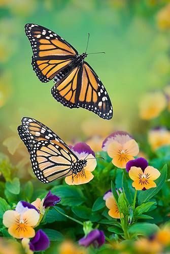 colorful-and-stunning-butterfly-photography-26