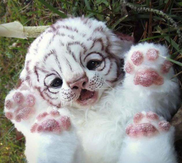 baby-white-tiger