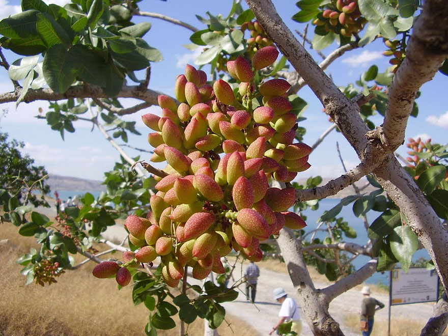 Surprising Images of How Food Looks Before It's Harvested (9)