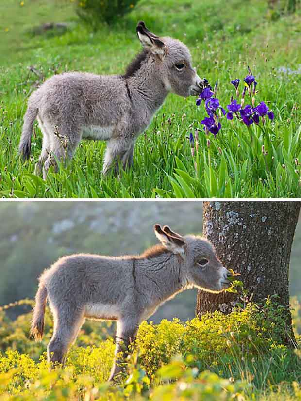 To Get Them The Attention Their Cute And Cuddly Looks Truly Deserve Greatinspire Has Collected A Heartwarming List Of Fuzzy Baby Donkeys
